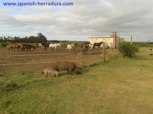 some of the horses of the ranch in atltantida